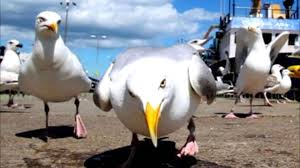 seagull-gansta