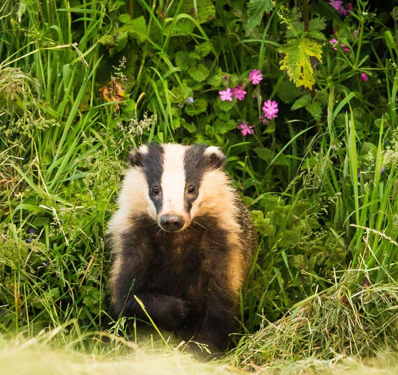 Badger -Helen Moore(1).jpg