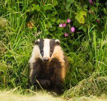 Badger -Helen Moore(1)