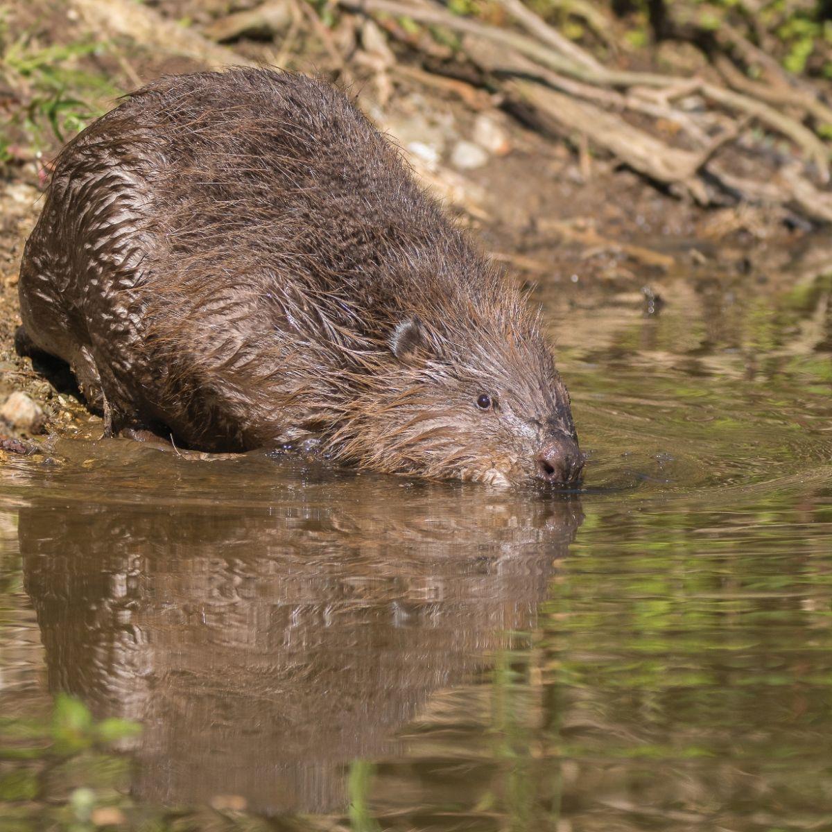 Beaver Jack Hicks(2).jpg