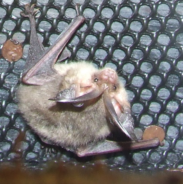 Brown long-eared bat_Rowena Millar(1)