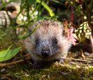 Hedgehog_Jeremy Northcott - Copy(1)